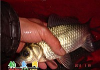 冬季雪夜垂釣大鯽魚