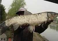 三阳河里钓获大草鱼