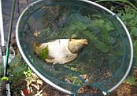 自制玉米粒釣餌連上鯉魚鯽魚