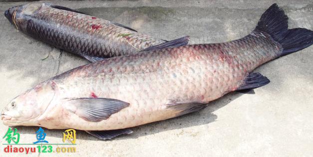 水庫垂釣青魚