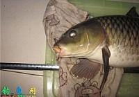 野河钓起8.4斤野生大鲤鱼