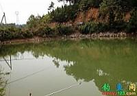 釣友在水庫用0.6子線釣獲4.2斤桂花魚