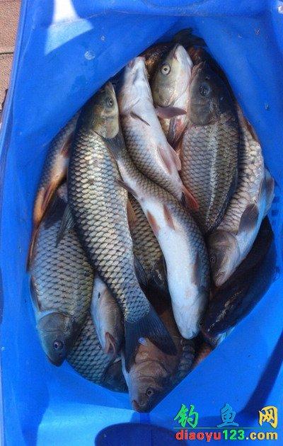 啤酒配餌釣鯉魚