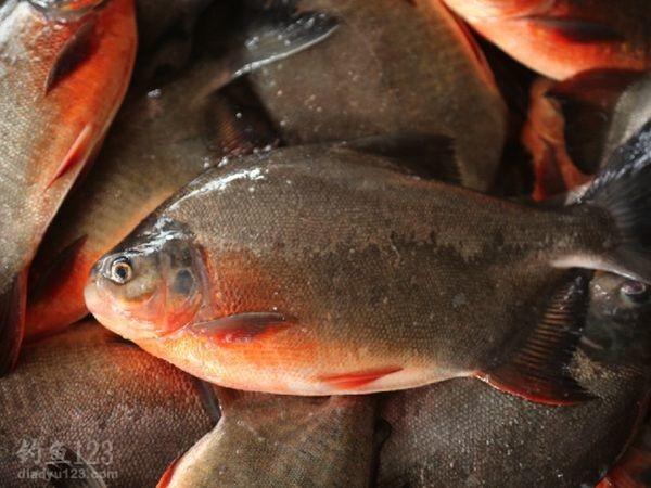 美国红鱼图片