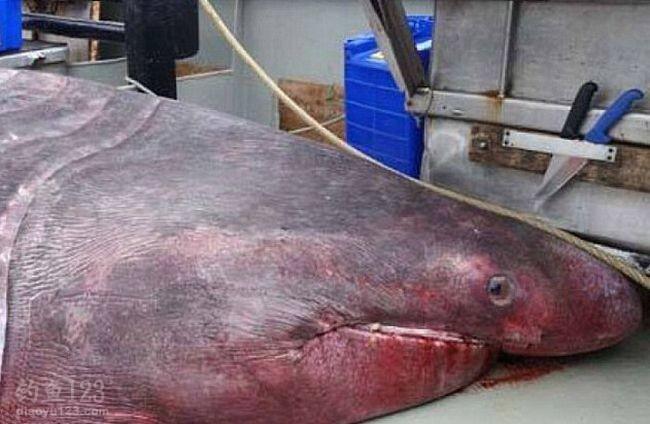 澳洲渔民捕获罕见3吨巨鲨