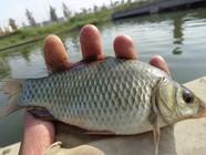 高温天气野河钓获大鲫鱼