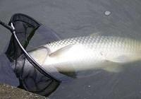 夏季水库垂钓草鱼注意的三个点