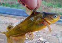 钓黄颡鱼需要注意的几点小技巧
