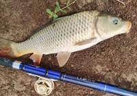 民间钓草鱼的四种方法