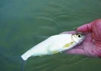 大眼鳊鱼你钓过吗