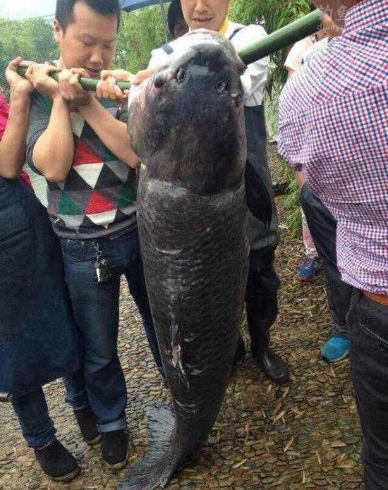 升钟湖130斤大青鱼