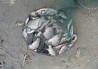 三人组夜钓额尔齐斯河收获大鲫鱼40斤