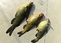 原生态野河使用蚯蚓钓黄颡鱼