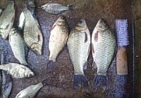 沙河野钓大鲫鱼大鲶鱼大黄颡鱼