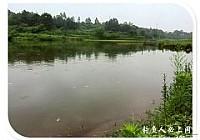 原生态传统钓法竹竿钓大草鱼